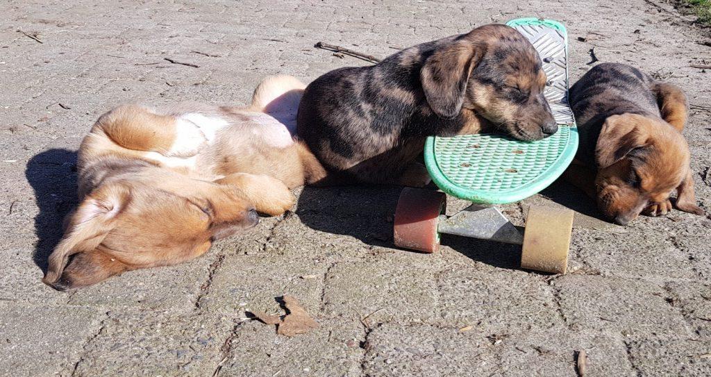 Nestje slapende Teckel pups die net hun chip en eerste vaccinatie hebben gehad. Zo leggen we ook bezoekjes voor kittens af.