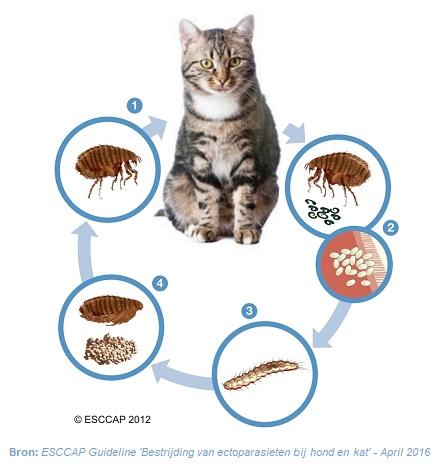 Levenscyclus van vlooien.