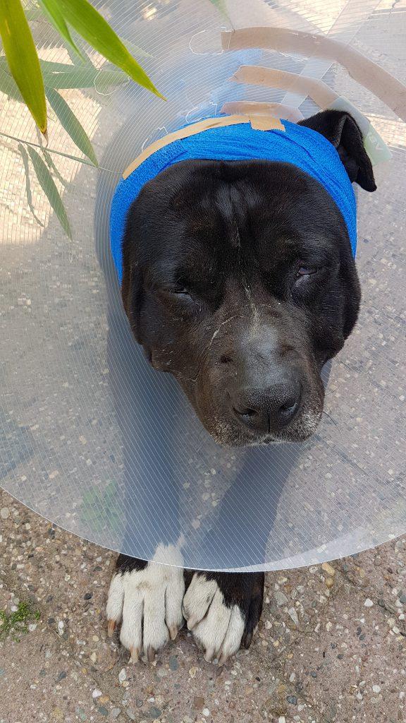 Hond met bloedoor door de dierenarts behandeld.