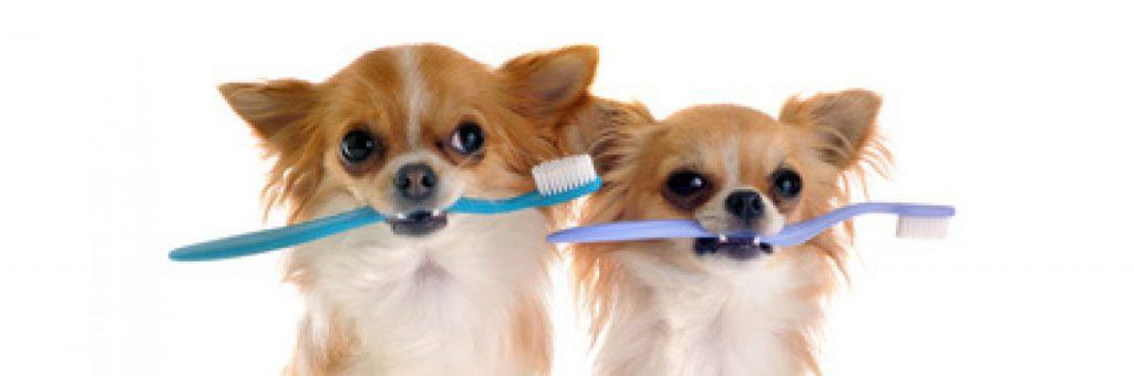Als je een pup in huis hebt is opvoeding belangrijk. Laten wennen aan tandenpoetsen hoort daar ook bij.