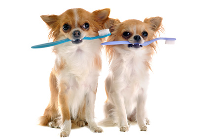 Een gezond gebit. Deze chihuahua's geven met hun tandenbortsel het goede voorbeeld.