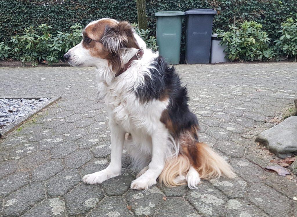 Een hond met doorgezakte polsen heeft onderzoek door een dierenarts nodig.