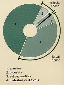 Voortplanting van de hond: de cyclus van de teef.
