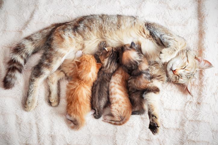 Een nestje kittens bij hun moeder.