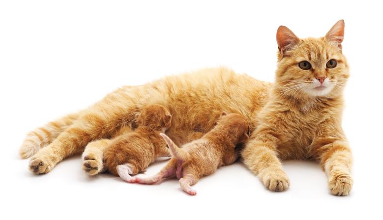 Na de bevalling bij de poes breekt de zoogperiode van de kittens aan.