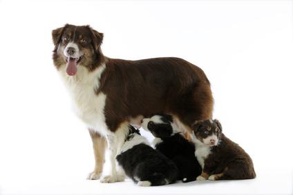 De nieuwe wetgeving voor honden geldt ook voor een nestje pups.