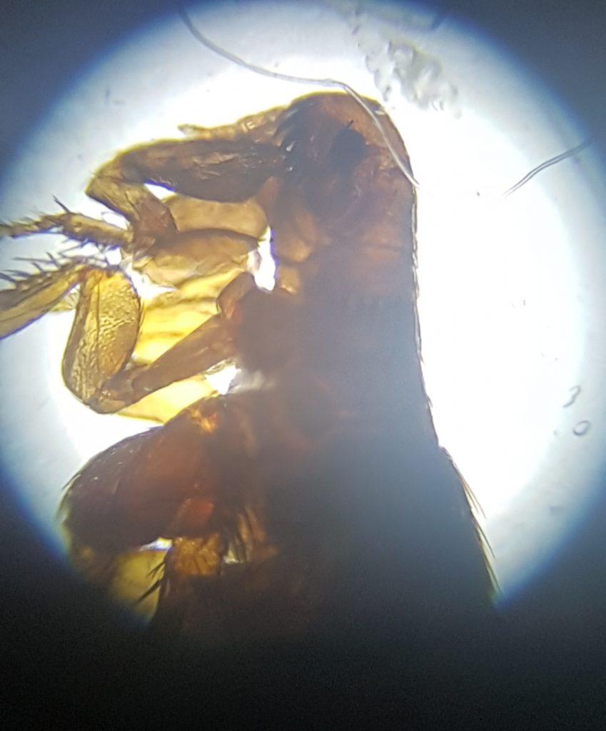 Vlooien zijn parasieten die zich op het dier bevinden.