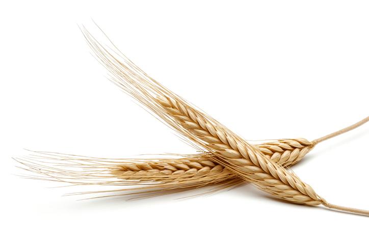 Graan, veel gebruikt in diervoeding.
