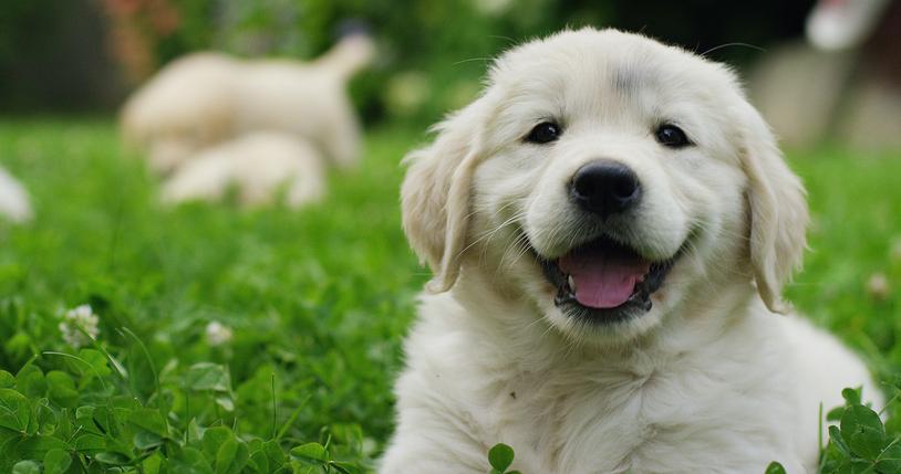 Dankzij nieuw puppyvaccin kunnen pups veilig de omgeving verkennen.